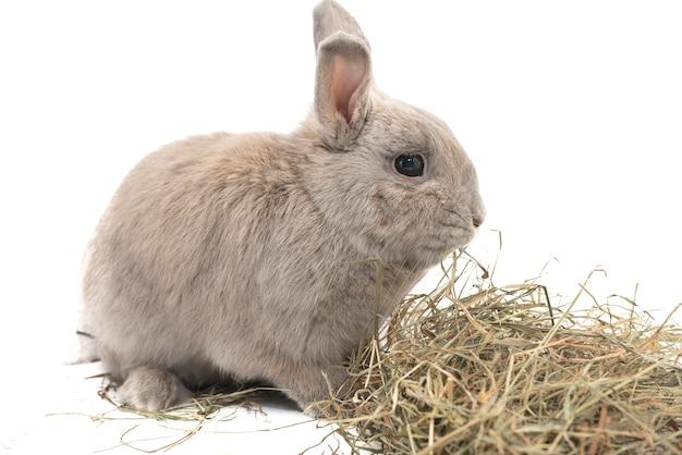 Schönes dekoratives kaninchen grau mit heu isoliert auf weißem hintergrund