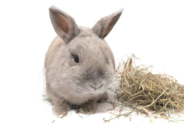 Schönes dekoratives kaninchen grau und großohrig mit heu isoliert auf weißem hintergrund