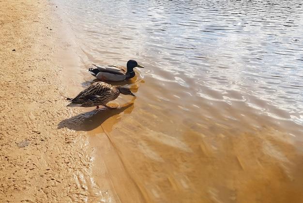 Schönes ehepaar enten auf dem fluss nahe der ufernahaufnahme vacationing entenfamilie