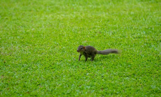Schönes eichhörnchen, das auf grünem gras, im park steht.
