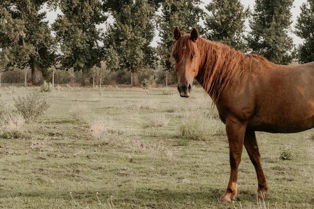 Schönes erwachsenes braunes pferd auf einem feld auf einer ranch