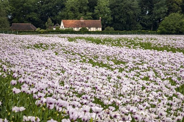 Schönes feld der rosa mohnblumen oxfordshire, großbritannien und ein bauernhaus