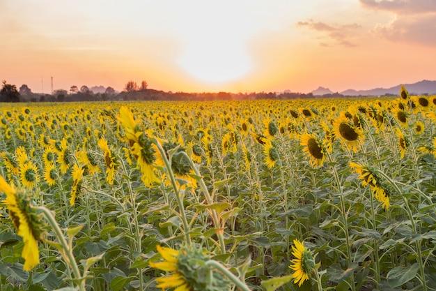 Schönes feld der sonnenblumen im frühjahr