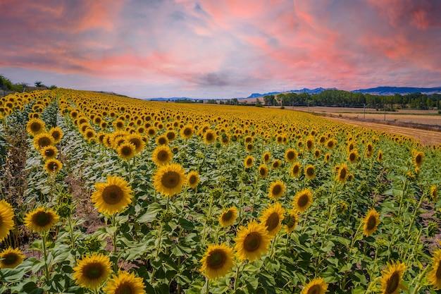 Schönes feld der sonnenblumen in einem feld von castilla y leon, spanien im sommersonnenuntergang