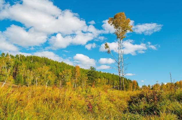 Schönes feld mit einer birke auf einem hintergrund des grünen waldes und des blauen himmels. herbstlandschaft.