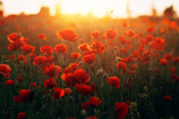 Schönes feld mit roten mohnblumen bei sonnenuntergang
