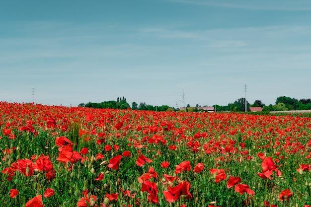 Schönes feld mit roten mohnblumen in der landschaft