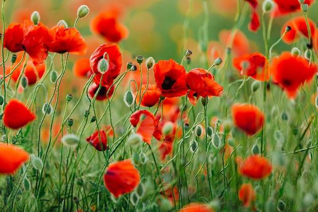 Schönes feld mit wilden roten mohnblumen im frühjahr.