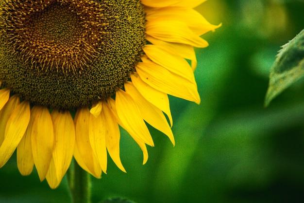 Schönes feld von blühenden sonnenblumen gegen goldenes licht des sonnenuntergangs und undeutlicher landschaftshintergrund