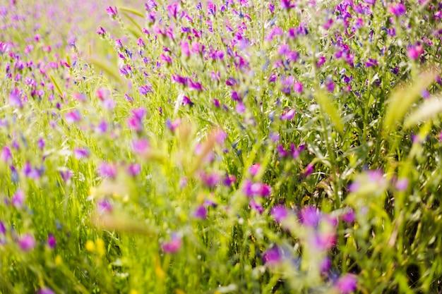 Schönes feld von purpurroten blumen und von grünem gras