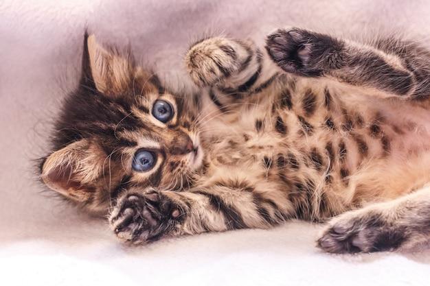 Schönes flaumiges kätzchen der getigerten katze mit großen blauen augen