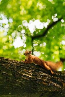 Schönes flauschiges eichhörnchen auf dem baum schaut in die kamera.