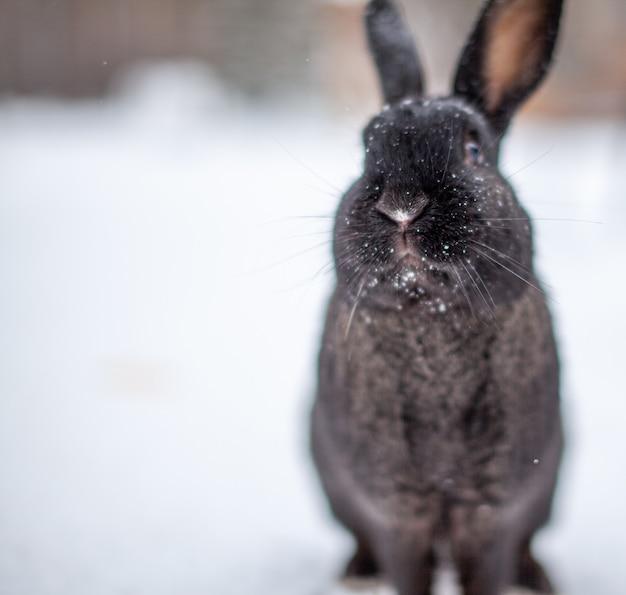 Schönes, flauschiges schwarzes kaninchen im winter im park. das kaninchen sitzt und wartet auf futter.