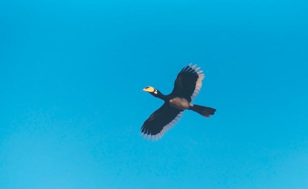 Schönes fliegen des orientalischen gescheckten hornbills (anthracoceros albirostris) unter dem blauen himmel