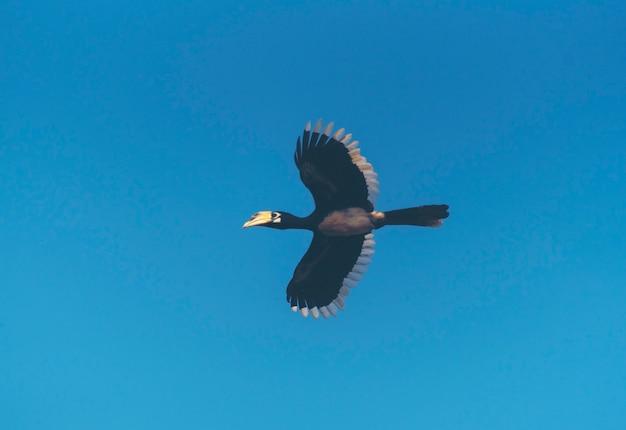 Schönes fliegen des orientalischen gescheckten hornbills (anthracoceros albirostris) unter dem himmel