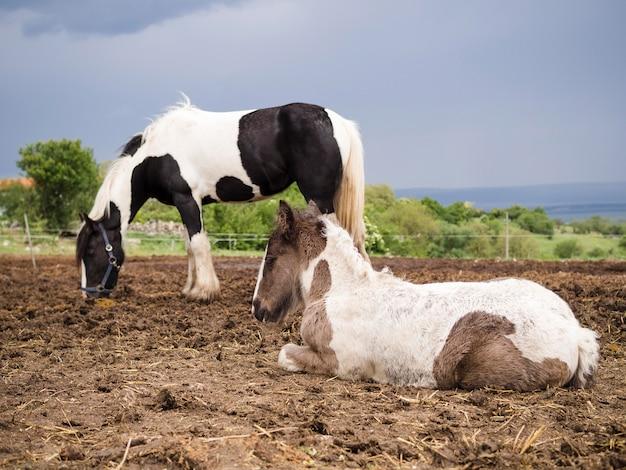 Schönes fohlen, das neben pferd sitzt
