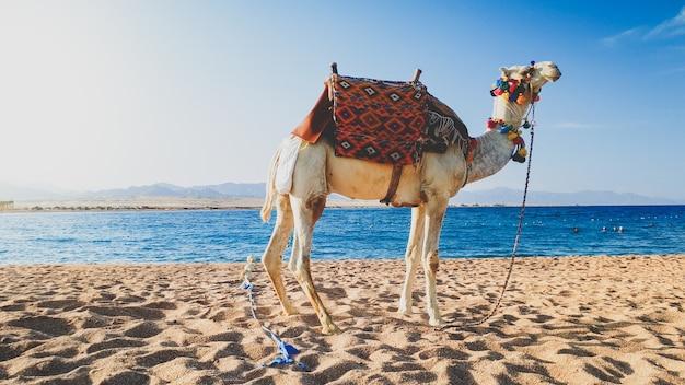 Schönes foto des kamels mit verziertem sattel, der auf dem sand am ufer gegen erstaunlichen sonnenunterganghimmel steht