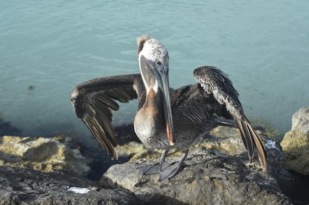 Schönes foto eines wasservogels an der küste von aruba