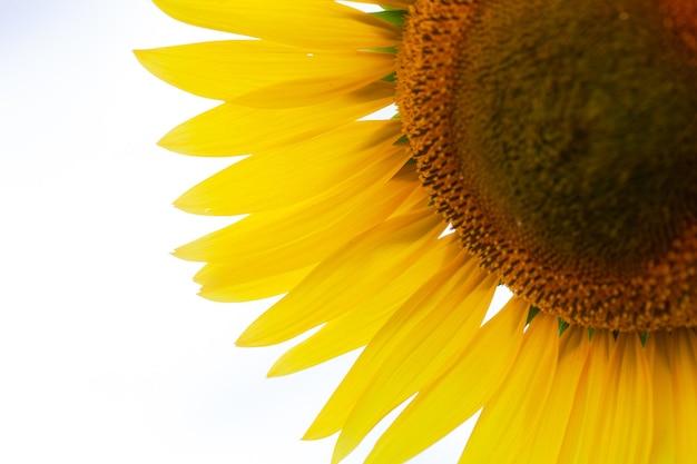 Schönes frisches gelbes sonnenblumenmakroschießen. sonnenblume, die nahaufnahme blüht. sonnenblume auf hintergrund des blauen himmels. blumenkarte tapete. erntezeit, landwirtschaft, landwirtschaft. samen der gelben blütenblätter
