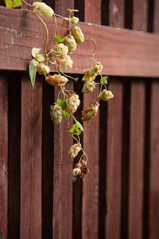 Schönes frisches hopfen auf einem hölzernen braunen zaun.