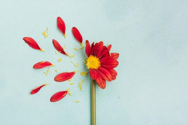 Schönes frühlingsgänseblümchen mit den blumenblättern und kopienraum