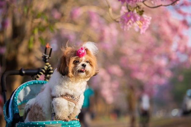Schönes frühlingsporträt von shih tzu-hund im blühenden blumenrosapark.