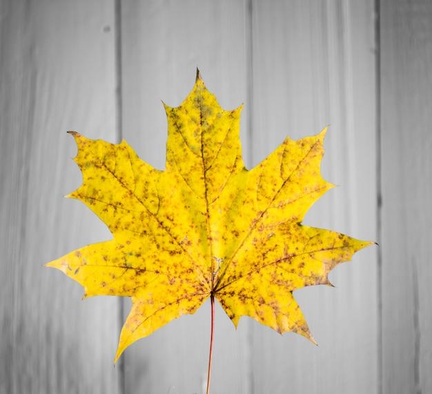 Schönes gelbes herbstblatt auf alter weißer holznahaufnahme