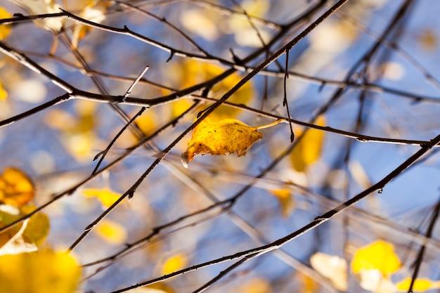 Schönes gelbes laub von birken in der herbstsaison des jahres, nahaufnahme in der natur