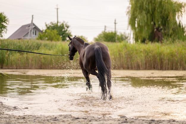 Schönes gepflegtes dunkles pferd für einen spaziergang am see. ein pferd läuft auf dem wasser. kraft und schönheit