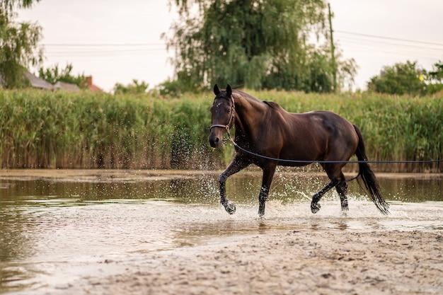 Schönes gepflegtes dunkles pferd für einen spaziergang am see, ein pferd läuft auf wasser, kraft und schönheit