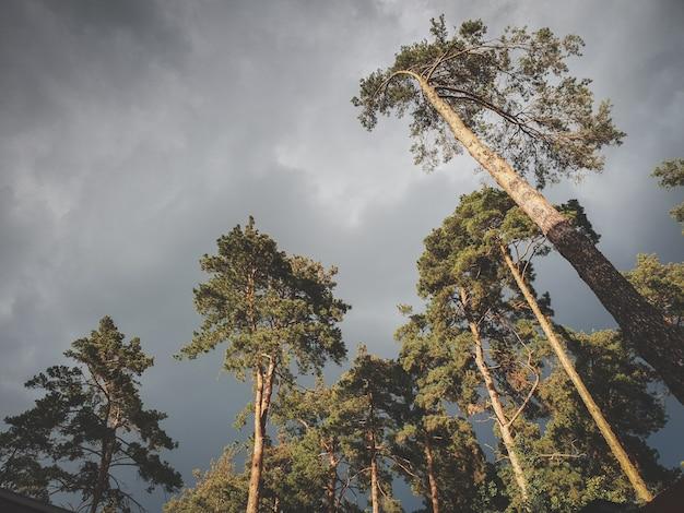 Schönes getöntes bild des dunkelgrauen himmels bedeckt mit regenwolken über hohen kiefern im wald. landschaft des fichtenwaldes vor dem sturm