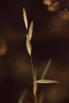 Schönes gewürz des trockenen grases der nahaufnahme