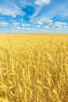 Schönes goldenes weizenfeld und blauer himmel