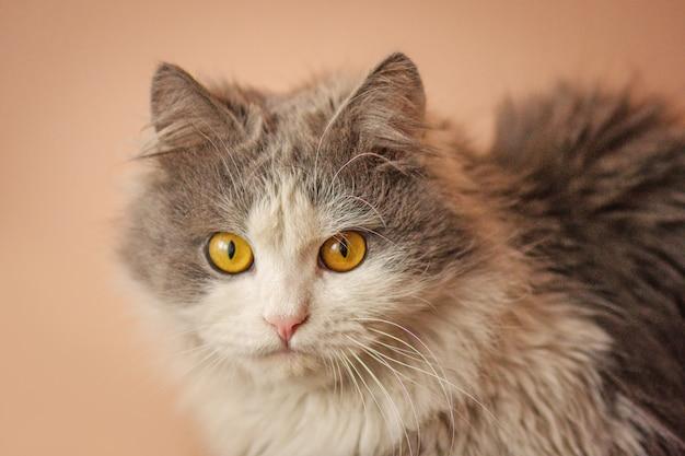 Schönes graues und weißes katzenlügen. katze, die kamera betrachtet. interessierte katze, die zu hause stillsteht. graue flauschige katze. überraschte katze zu hause.