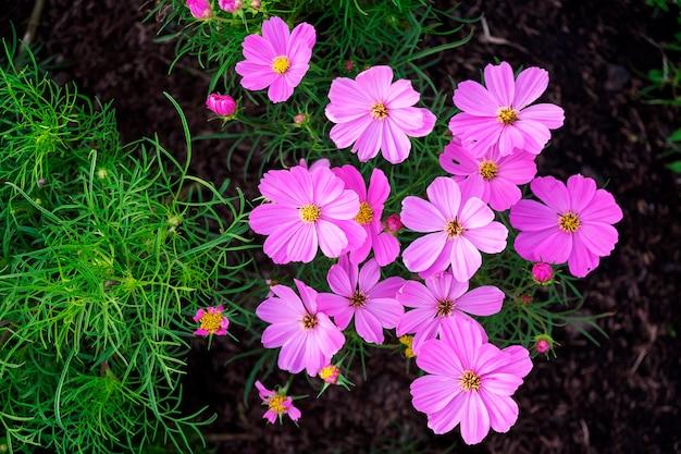 Schönes grünes blatt der nahaufnahme und rosa kosmosblume, die auf dem gebiet blüht.
