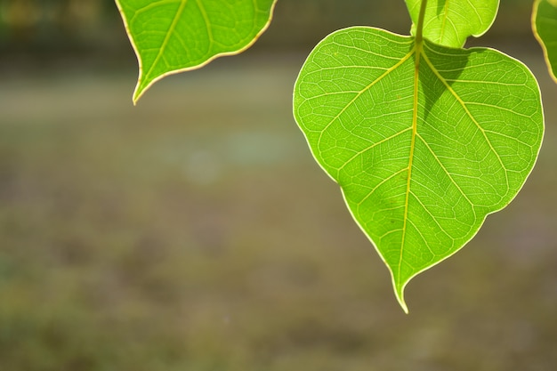 Schönes grünes bo-blatt auf naturhintergrund mit sonnenlicht, konzept der meditation.