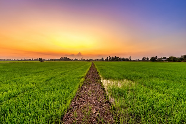 Schönes grünes feldmaisfeld oder mais in der landwirtschaft des asiatischen landlandes mit sonnenuntergangshimmel.