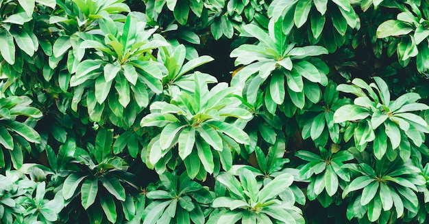 Schönes grünes, frisches und gesundes laub der tropischen baumdekoration im hinterhofgarten