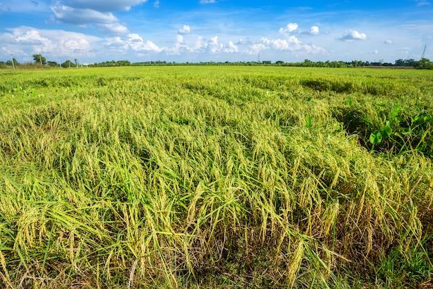 Schönes grünes getreidefeld mit flaumigem wolkenhimmelhintergrund.