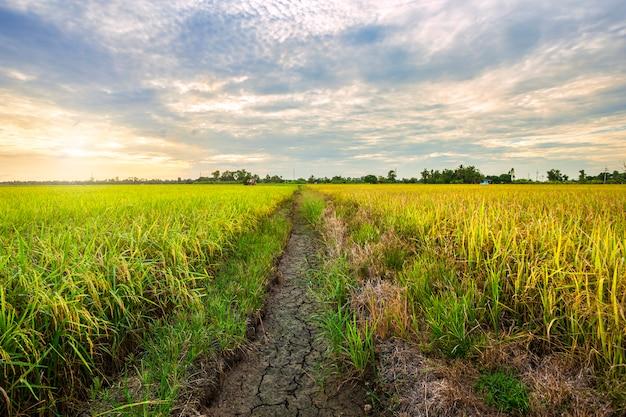 Schönes grünes getreidefeld mit sonnenunterganghimmelhintergrund