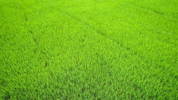 Schönes grünes reisfeld in nord von thailand