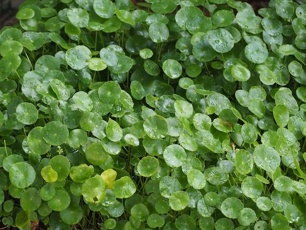 Schönes grünes wasser pennywort