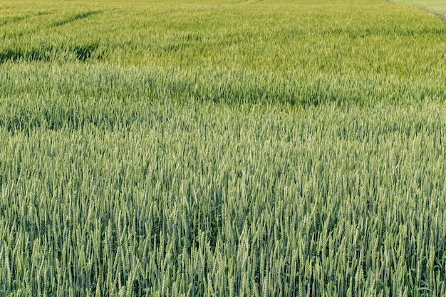 Schönes grünes weizenfeld. landwirtschaft.