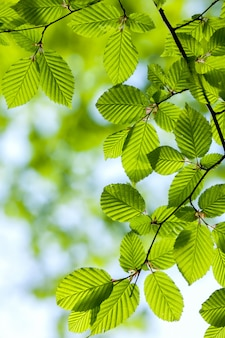 Schönes, harmonisches walddetail mit hainbuchenblättern (carpinus betulus)