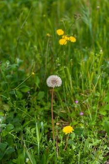 Schönes helles weiß aus der blüte runder löwenzahn teraxacum officinale blüte, wächst auf einem feld