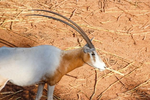 Schönes horn des oryx-säugetiertiers auf sand