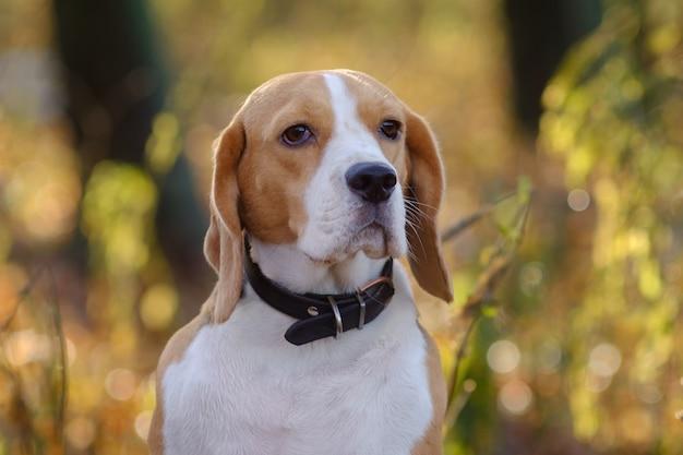 Schönes hundeporträt beagle im herbstwald am sonnigen tag