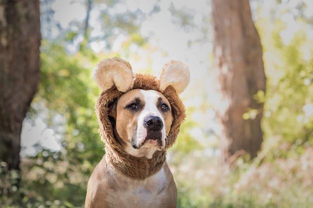 Schönes hundeporträt im bärenhut im freien fotografiert. netter staffordshire terrier sitzt im wildtierkostüm auf sonniger wiese