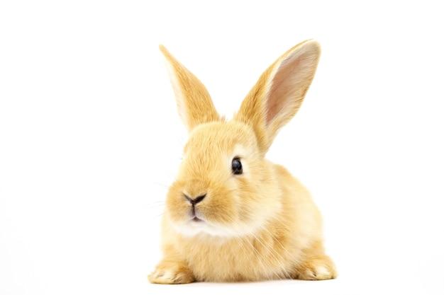 Schönes ingwer-kaninchen auf einem weißen hintergrund.
