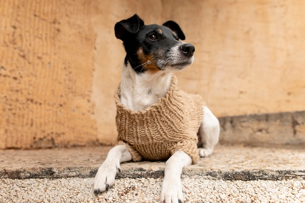Schönes jack terrier hundehaustierportrait